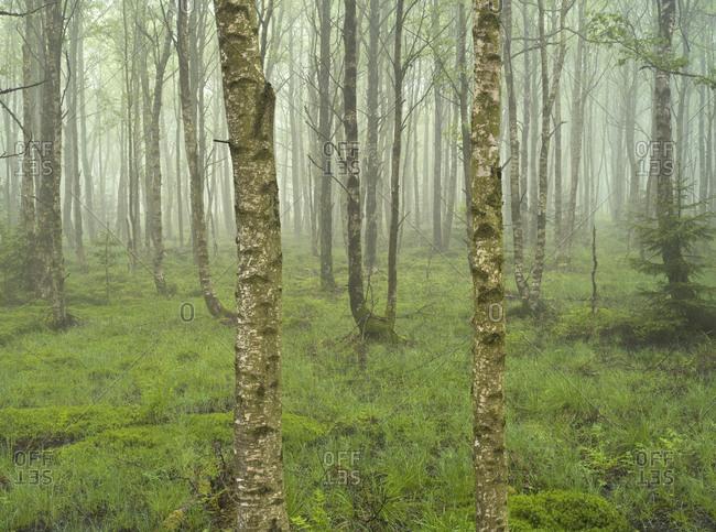 Europe, Germany, Bavaria, UNESCO Rhon Biosphere Reserve, Black Moor nature reserve near Fladungen, birch forest in the fog, spring