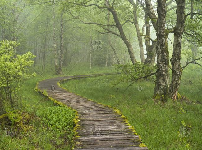 Europe, Germany, Bavaria, UNESCO Biosphere Reserve Rhoen, nature reserve Schwarzes Moor bei Fladungen, Bohlenweg through birch forest, fog, spring