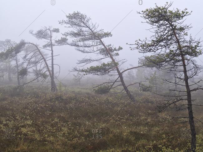 Europe, Germany, Bavaria, UNESCO Rhon Biosphere Reserve, Black Moor nature reserve at Fladungen, autumn mist, pines, cotton grass