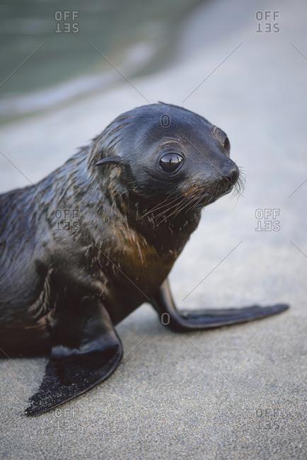 Young seal on the beach, Golden Bay, Tasman, New Zealand