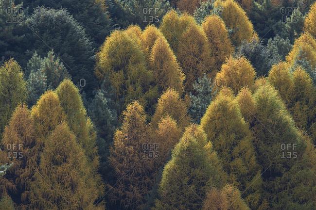Larch forest near Lho in Nepal