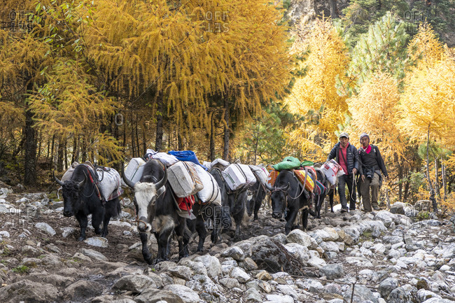 October 29, 2019: Yak caravan from Tibet on the Manaslu Circuit