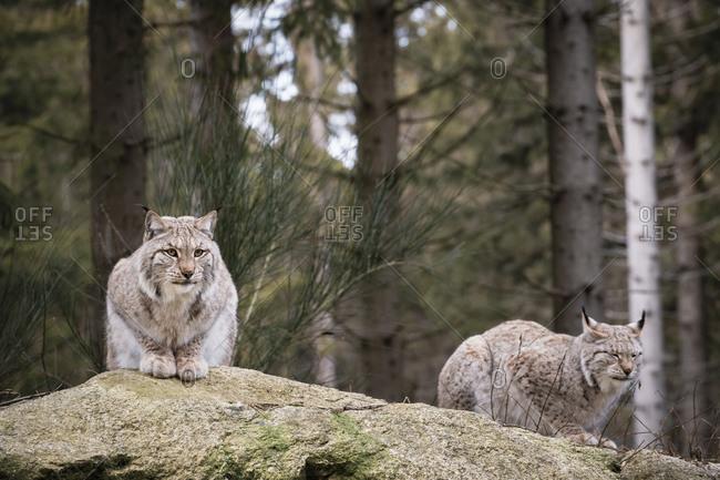 Lynx, lynx, predator (Carnivora) Bavaria, Germany, Europe