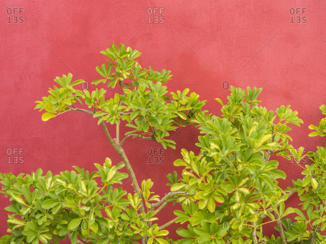 Green bush in front of red house wall in Naples