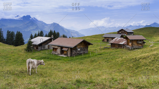 Alpine huts with cow on the Kaserstatt in the Bernese Oberland