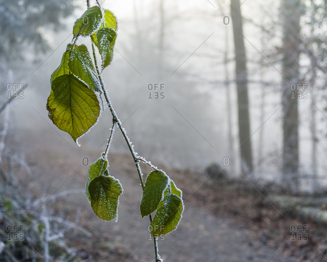 Foggy winter forest on the Uetliberg near Zurich