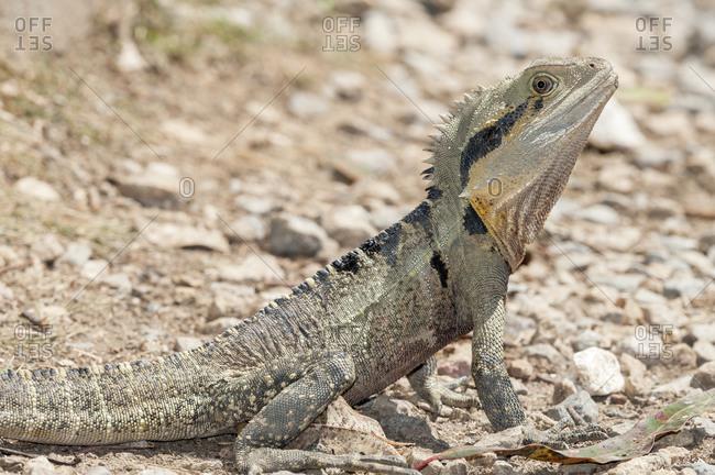 Australian Eastern water dragon (Physignathus lesueurii), Brisbane, Queensland, Australia