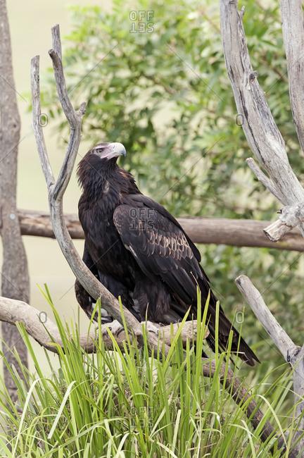 Wedge-tailed eagle (Aquila audax), Brisbane, Queensland, Australia