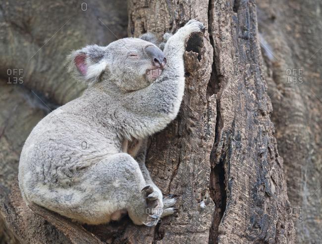 Koala (Phascolarctos Cinereous) resting on a tree, Brisbane, Queensland, Australia