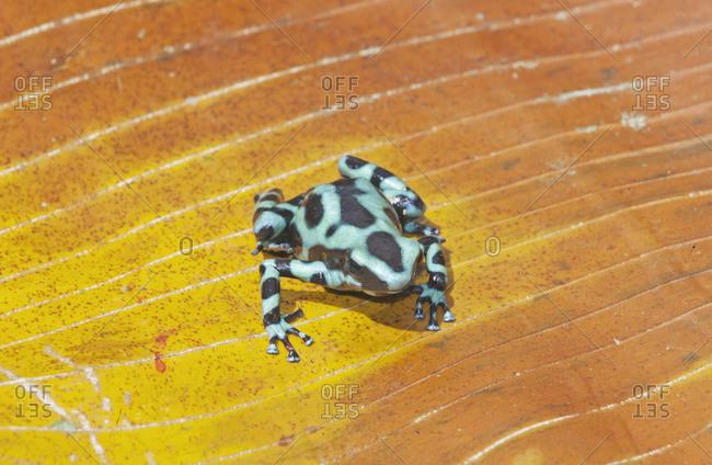 Green and Black poison dart frog,(Dendrobates auratus), Costa Rica, Central America