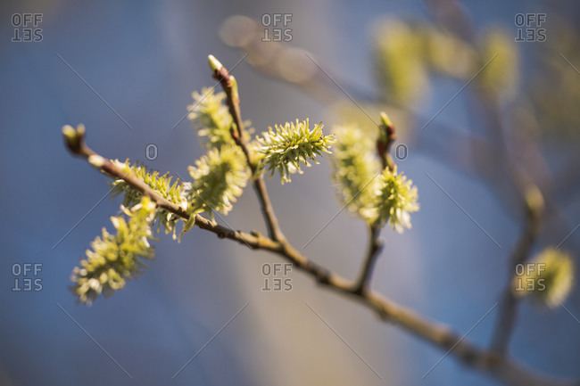 Close up of willow flower on branch