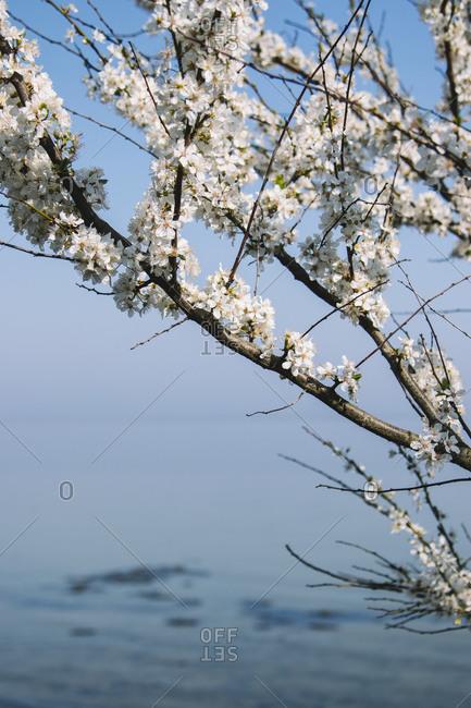 Detail of cherry blossom tree