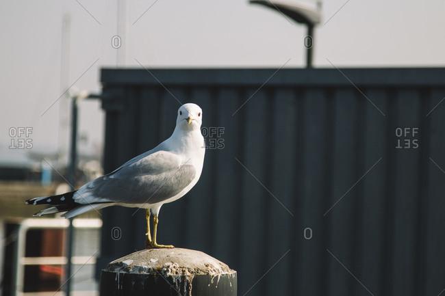 Seagull in Maasholm Bad, Schleswig Holstein.