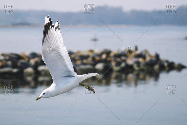 Seagull in flight, Maasholm Bad, Schleswig Holstein.