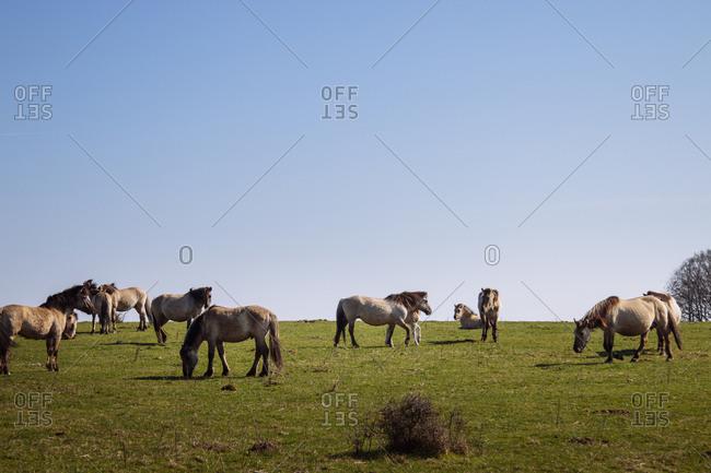 Wild horses, Geltinger Birk nature reserve, Baltic Sea, Schleswig Holstein.