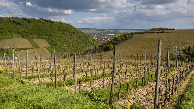 Vineyard in Nahe valley near Bingen / Bingerbruck