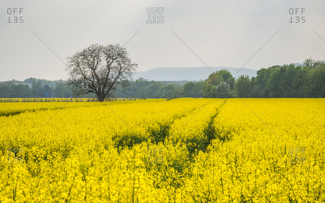 Lonely tree in the rapeseed field near Ockenheim in Rheinhessen