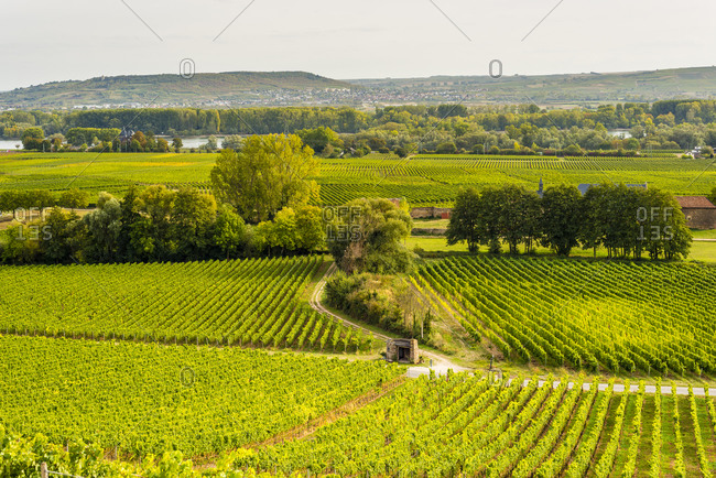 Vineyards below Johannesburg Castle in the Rheingau, seat of Prince Mettternich