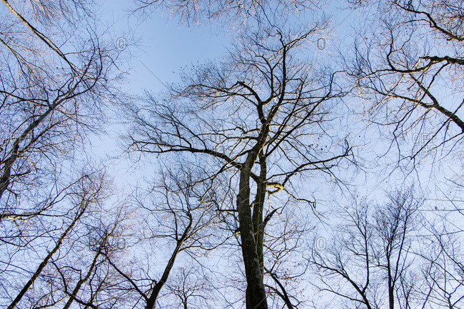 Bare deciduous trees under blue sky