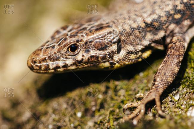 Detail of lizard on a rock