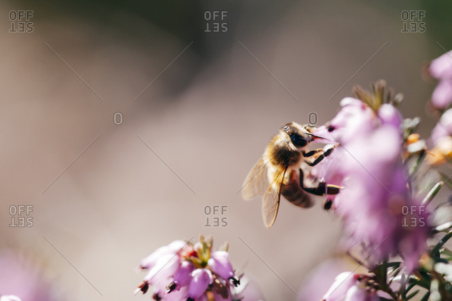 Bee on a pink heather flower