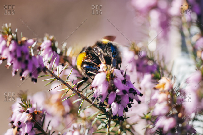 Bumblebee on a pink heather flower, close up