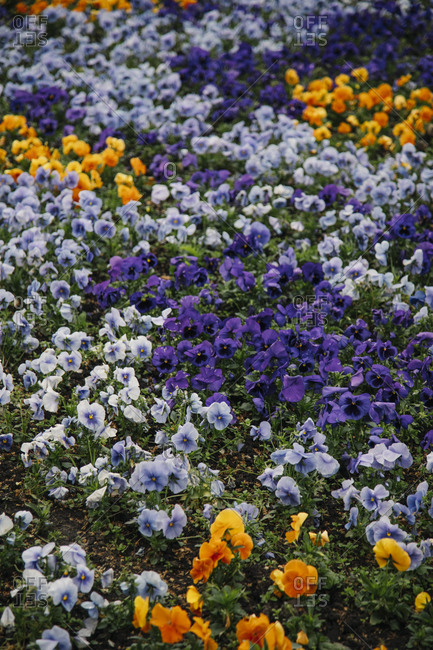 Flower bed of colorful pansies