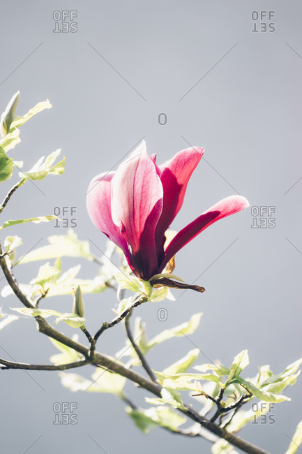 Close up of Magnolia flower in bloom