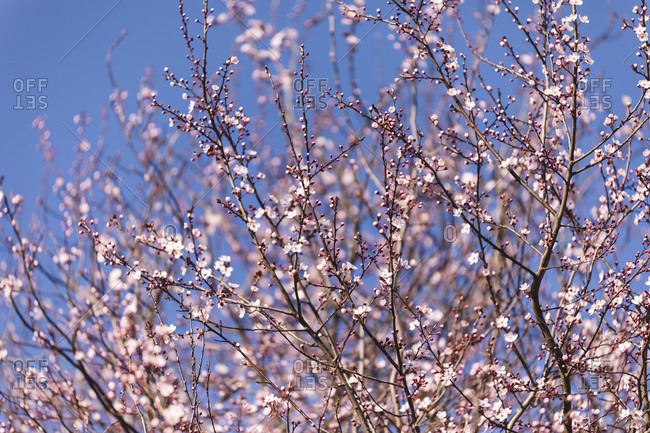 Cherry blossom tree under blue sky