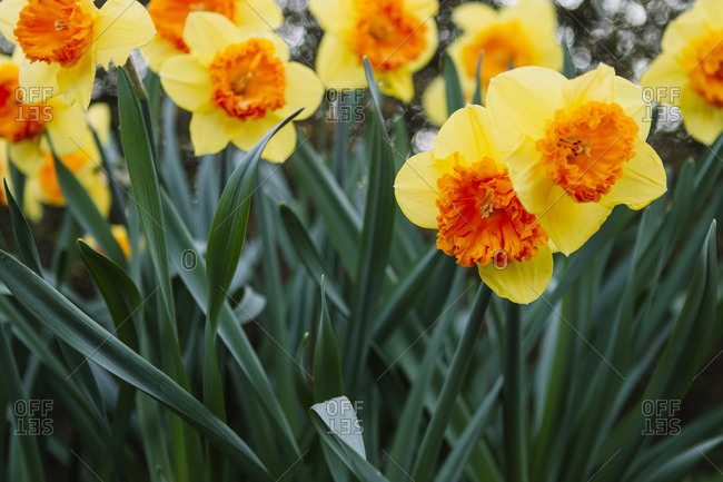 Close upon yellow and orange daffodils