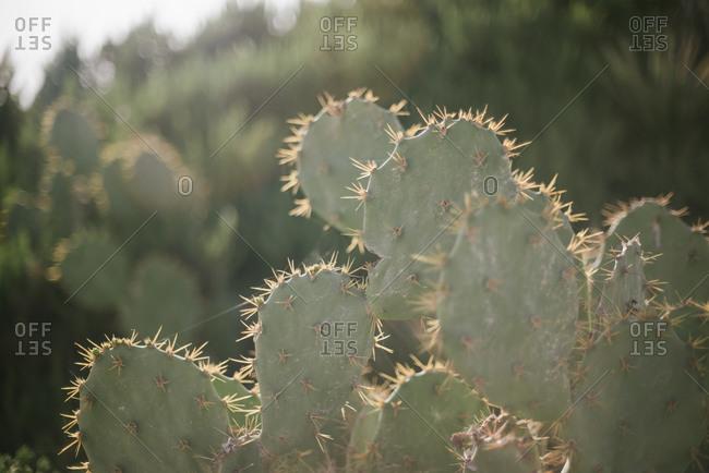 Close up of backlit cactus