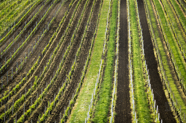 Full frame shot of vineyards, Velke Bilovice, Breclav District, South Moravian Region, Moravia, Czech Republic