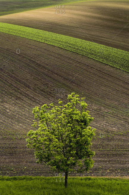 Scenic view of lone tree and brown and green rolling hills near Kyjov, Hodonin District, South Moravian Region, Moravia, Czech Republic