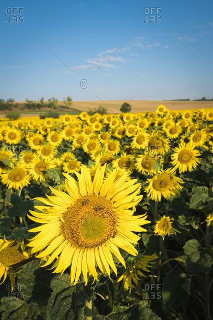 Fresh sunflowers on field near Hovorany, Hodonin District, South Moravian Region, Moravia, Czech Republic