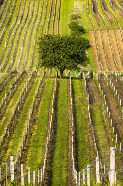 Cherry tree at green vineyard, Cejkovice, Hodonin District, South Moravian Region, Moravia, Czech Republic