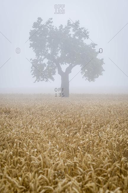 Lone tree on field in fog near Svatoborice-Mistrin, district Hodonin, South Moravian Region, Czech Republic