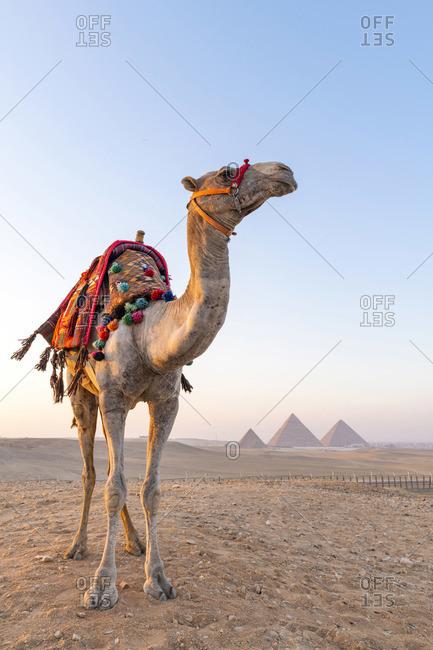 Camel at the Pyramids of Giza, Giza, Cairo, Egypt