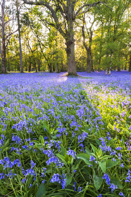 Bluebell field, Oxfordshire, England, Europe