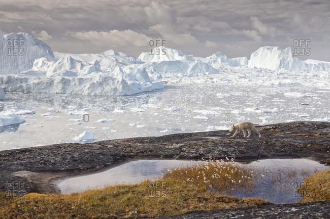 Greenland Husky pup; in the background icebergs in Kangerlua  Fjord, Sermeq  Kujalleq, Disko Bay, Greenland