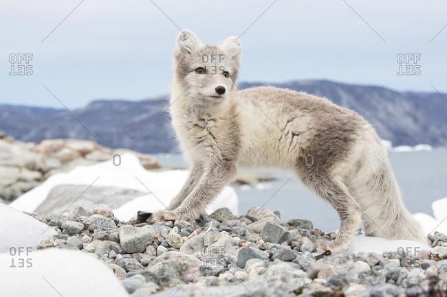 An arctic fox in Ataa village, Disko Bay, Greenland