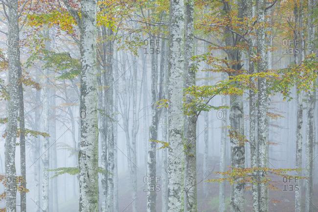 Cansiglio forest in autumn, Belluno district, Cansiglio Forest, Veneto, Italy