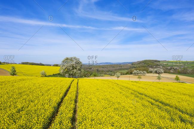 Flowering rap fields near Saarburg, Hunsruck, Rhineland-Palatinate, Germany