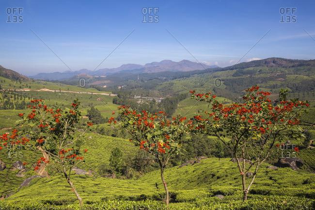 India, Kerala, Munnar, Tea estate
