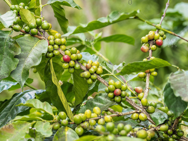 Coffea Cherries at Coffee Plantation, Blue Mountains, Saint Andrew Parish, Jamaica