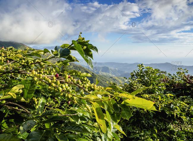 Coffea Cherries at Coffee Plantation, Blue Mountains, Saint Thomas Parish, Jamaica