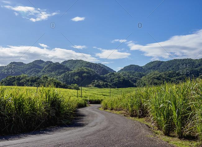 Sugar Cane Field near Appleton Estate Rum Factory, Nassau Valley, Saint Elizabeth Parish, Jamaica