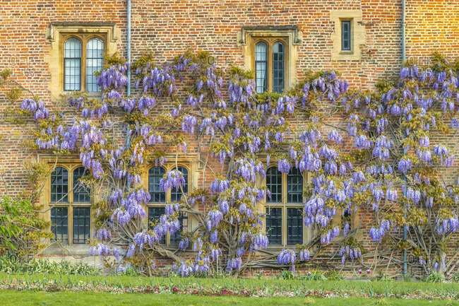 UK, England, Cambridgeshire, Cambridge, Magdalene College, Wisteria growing on college wall