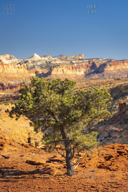 Solitary tree at Capitol Reef National Park on sunny day, Utah, Western United States, USA