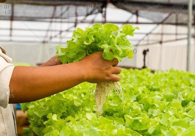 Man harvesting lettuce at an organic hydroponic vegetable farm, Thailand