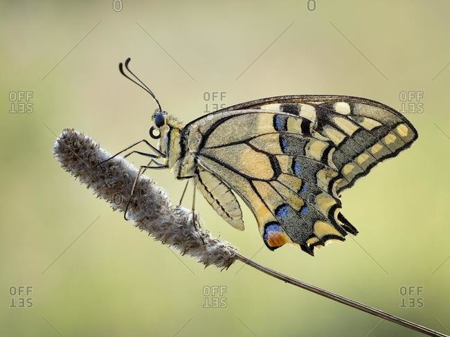 Close-up of an old world swallowtail butterfly  on a plant, Catalonia, Spain